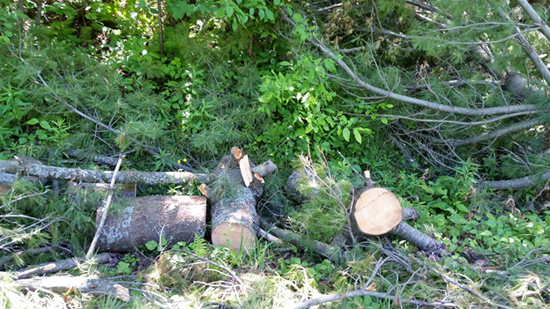 hydro-one-trees
