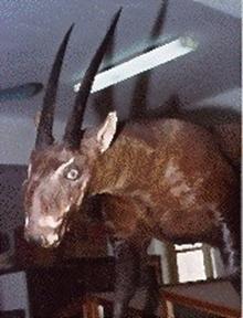 Pseudoryx nghetinhensis